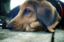 Problemas de ojo de perro y gotas para los ojos para perros