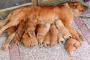 Infección Bacteriana de la Mama en Perros