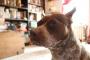 Recorte de orejas: ¿es correcto para su perro?