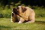 Identificación y tratamiento de infecciones fúngicas en perros