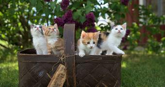 Diabetes mellitus en gatos