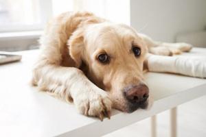 Cáncer de hueso en perros: síntomas, causas y tratamientos.