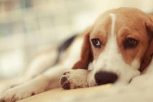 Piedras en la vejiga en perros