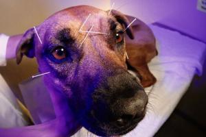 Medicina alternativa: acupuntura canina.