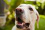 Cómo determinar la vida útil de un perro