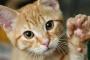 Defecto del tabique ventricular en los gatos