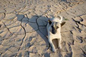 Infección fúngica (coccidioidomicosis) en perros