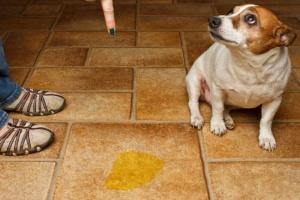Infección del tracto urinario, más bajo (bacteriano) en perros