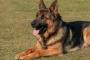 Qué hacer con respecto a los ácaros del oído en los perros (síntomas y consejos)