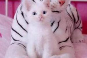 Gato de Cachemira