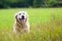 ¿Los perros pasan por la menopausia?