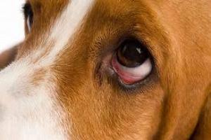Inflamación ocular (coroides y retina) en perros