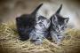 Ciclo reproductivo de los gatos