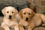Depósitos de proteínas en el hígado (amiloidosis) en perros