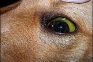 Piel amarilla (ictericia) en perros