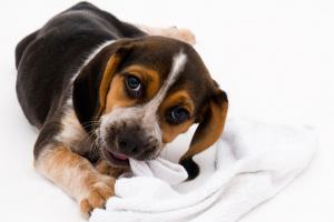 Tu perro comió un calcetín - Qué hacer a continuación