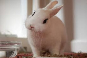 Distensión del estómago con gas y líquido en conejos