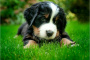 Diarrea aguda del perro (repentina)
