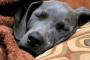 Neumonía (hongos) en perros