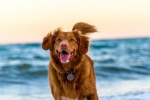 Ataques de sueño y debilidad en perros