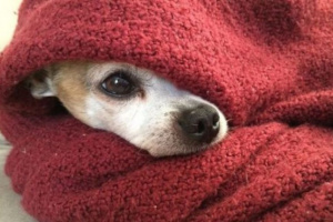¿Por qué mi perro le gusta dormir bajo las cubiertas?
