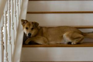 4 razones por las cuales los perros tienen miedo a las escaleras y cómo ayudarlos con su miedo.