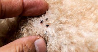 Ehrlichiosis Enfermedad transmitida por garrapatas en perros