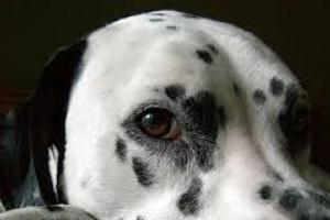 Cáncer de boca (adenocarcinoma) en perros