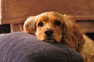 Enfermedad autoinmune en perros: cuatro causas principales y planes de tratamiento