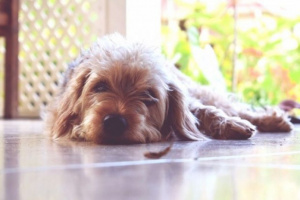 Hipopotasemia en perros: síntomas, causas y tratamientos.