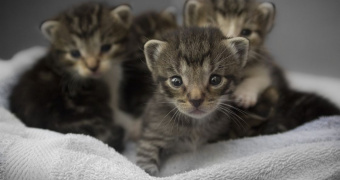 Diabetes mellitus con coma hiperosmolar en gatos