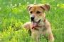 Infección por Bartonella en perros