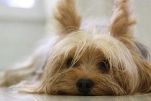 Xilitol y perros: por qué este edulcorante común es tóxico para los perros