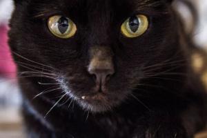 Algunos hechos fascinantes acerca de los gatos negros