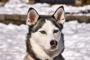 Esta condición genética puede provocar problemas en la piel y ceguera en perros esquimales.