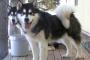 Lo que debe saber antes de obtener un cachorro de Alaskan Malamute