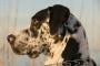 Protrusión del párpado en perros