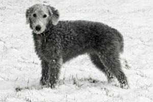 Inflamación hepática (crónica) en perros