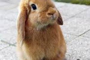 Micción dolorosa y frecuente en conejos