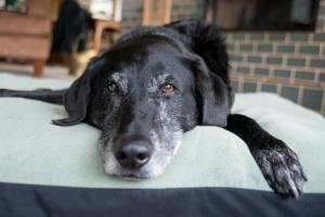 Cáncer de hígado (carcinoma hepatocelular) en perros