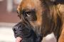 Temblores y convulsiones en perros: causas, diagnóstico y tratamiento