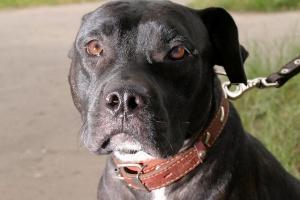 Cáncer de hueso en perros: Introducción