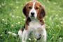 Envenenamiento por anticoagulantes en perros