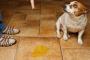 Infección Bacteriana de Vejiga y / o Uretra en Perros