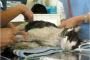 Anemia debido a enfermedad renal crónica en gatos
