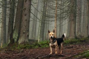 Infección fúngica (blastomicosis) en perros