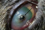 Adherencias del iris del ojo y la hinchazón del ojo en los gatos