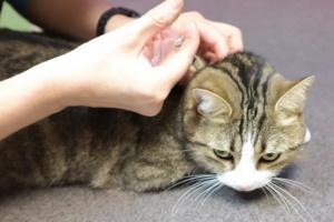 ¿Puede la diabetes felina ser curada?