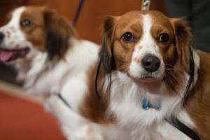 Infección de válvula cardíaca (endocarditis infecciosa) en perros
