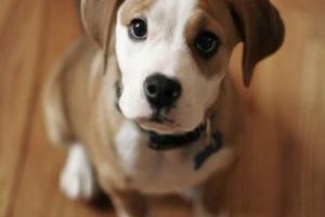 ¿Pueden los perros comer mango? Lo que debe saber sobre el mango para perros